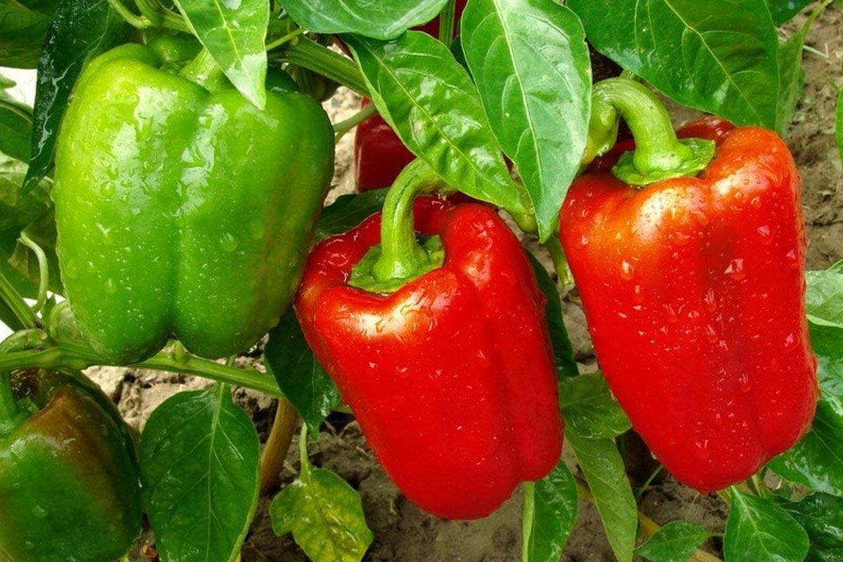 вырастить болгарский перец дома