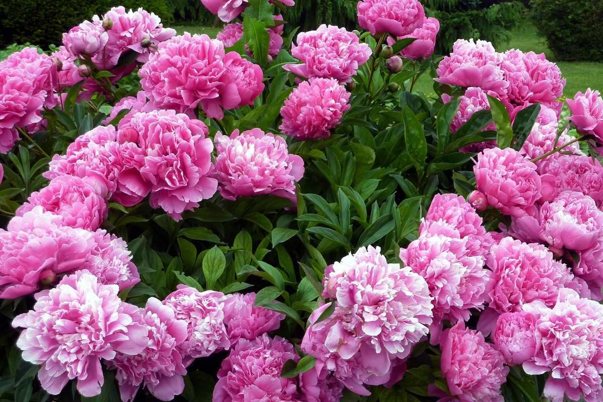 Пионы обожают органические удобрения, обильно цветут в благодарность садовнику Вдохновение,Советы,Подкормка,Растения,Сад,Удобрения,Цветы