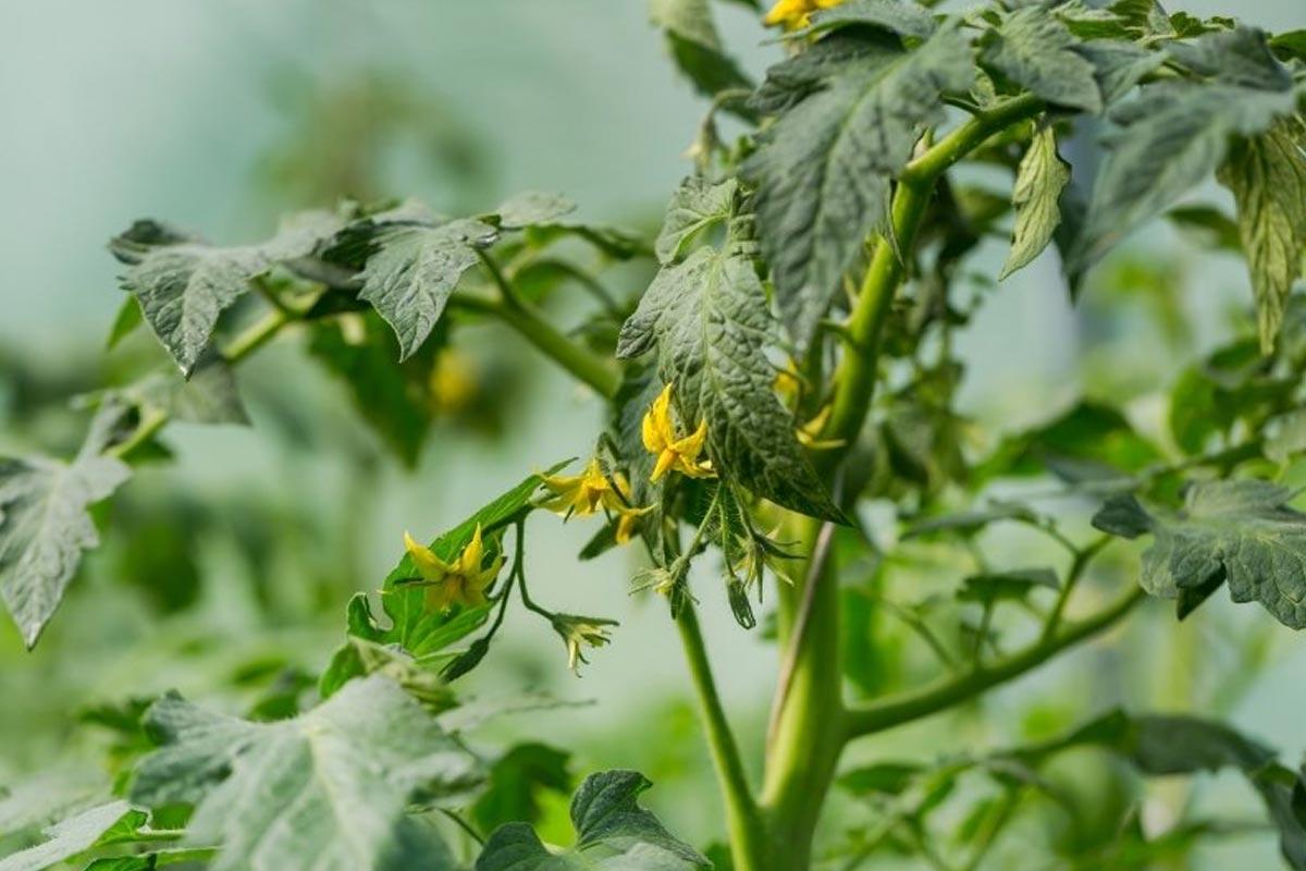 Чем подкормить помидоры в июне, чтобы они набрались сил Советы,Дача,Подкормка,Помидоры,Растения,Уход
