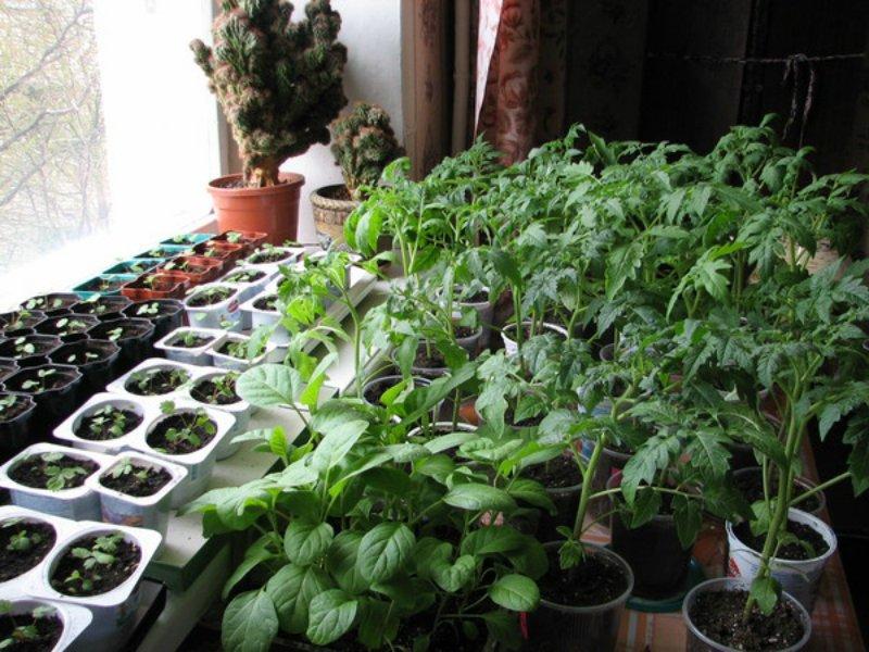 подкормка рассады перцев и помидоров
