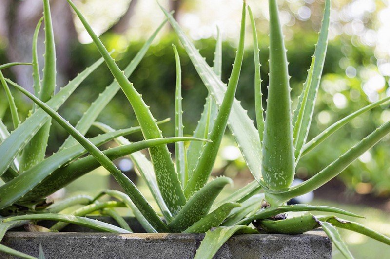 комнатные растения алоэ