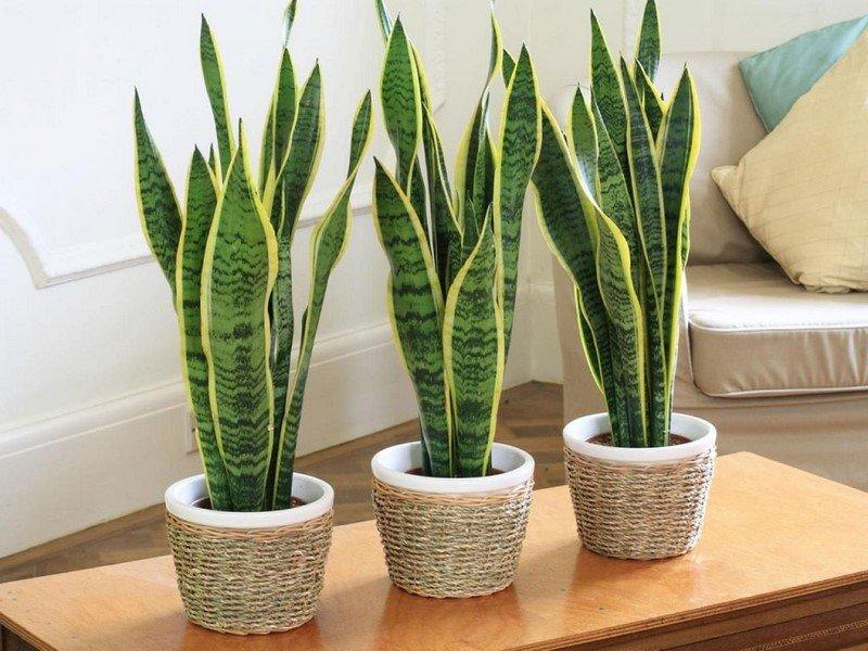 комнатные растения разновидности