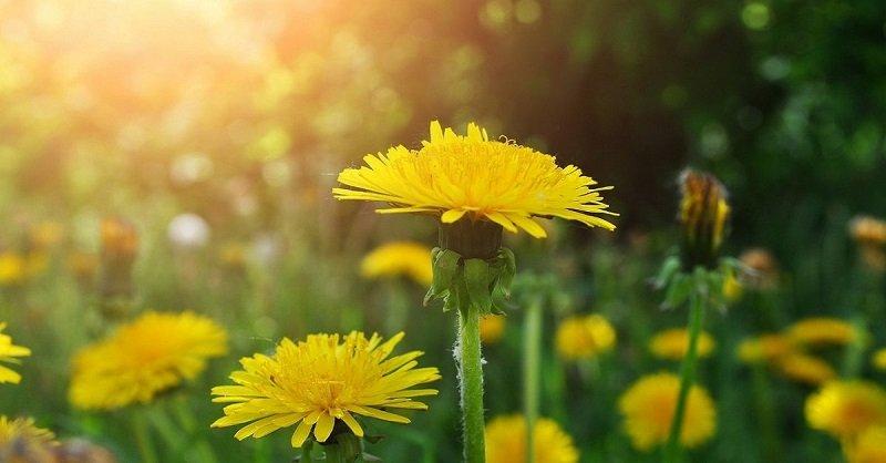 польза цветков одуванчика