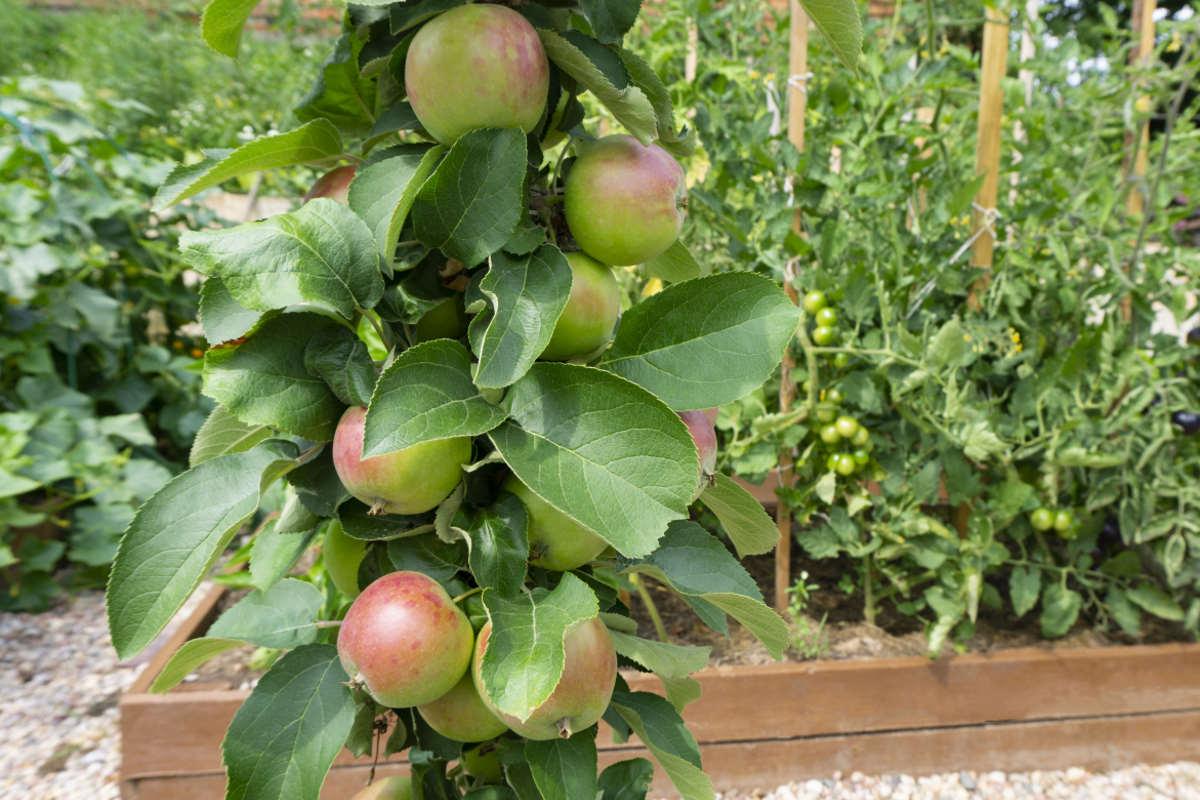Кто же знал, что у колоновидных яблонь, плодоносящих каждый год, множество недостатков Советы,Деревья,Рассада,Сад,Сорт,Урожай,Яблоки