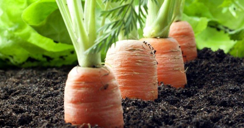 Хитрая посадка моркови: семена, бутылка — и корнеплоды даже прореживать не нужно