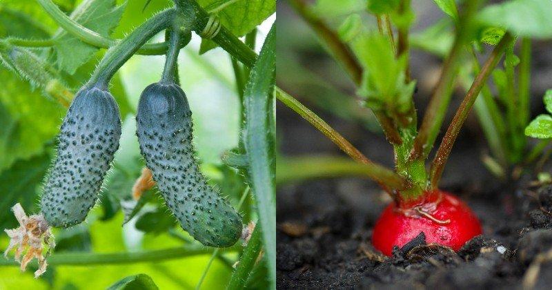 pestovanie zeleniny v roku 2019