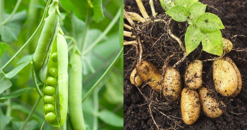 zmiešané pestovanie zeleniny a kvetov
