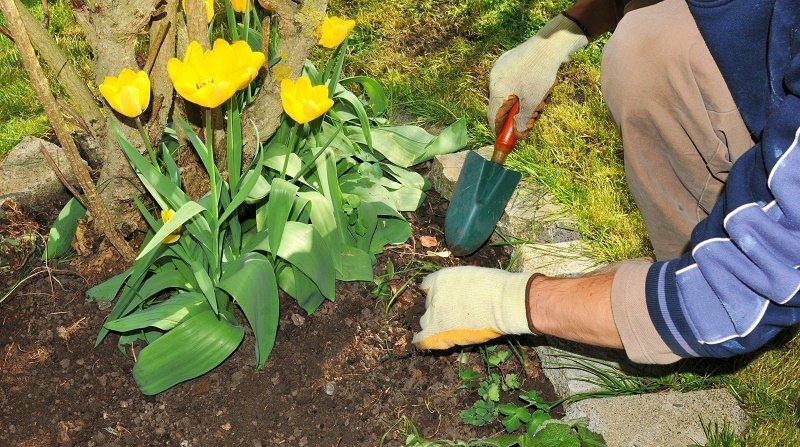 посадка проросших тюльпанов весной