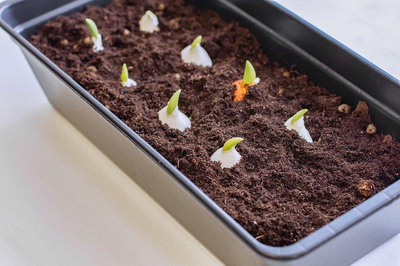 посадка тюльпанов весной в открытый грунт