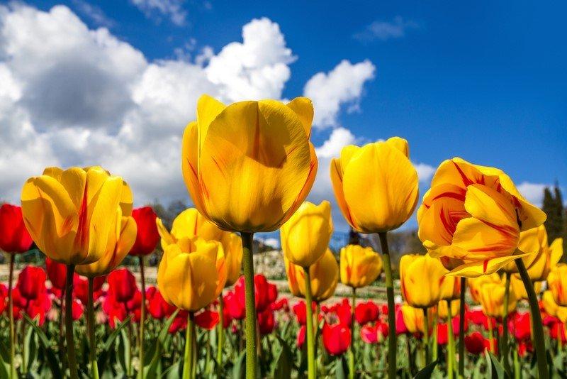 посадка тюльпанов весной в горшок