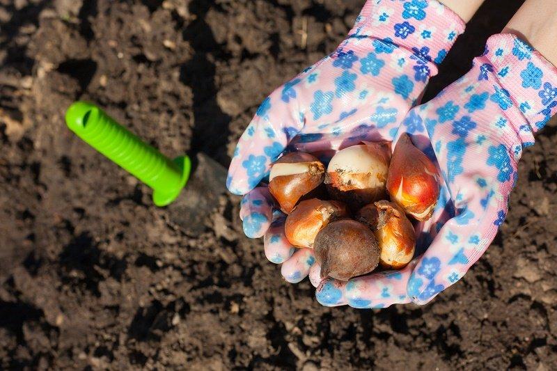посадка тюльпанов осенью в горшки