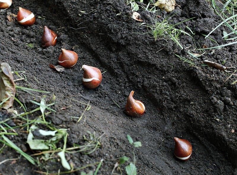 тюльпаны посадка луковиц весной