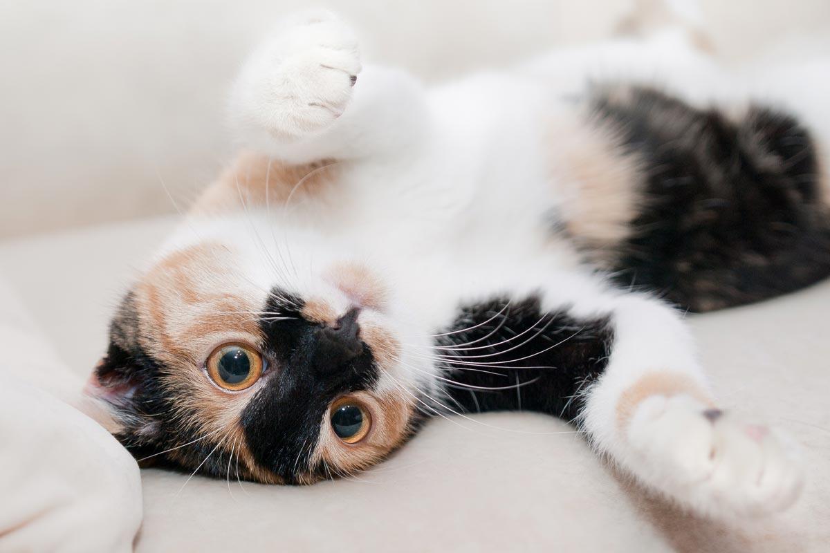 Зачем кошка резко заваливается на бок Вдохновение,Советы,Коты,Питомцы,Повадки,Поведение