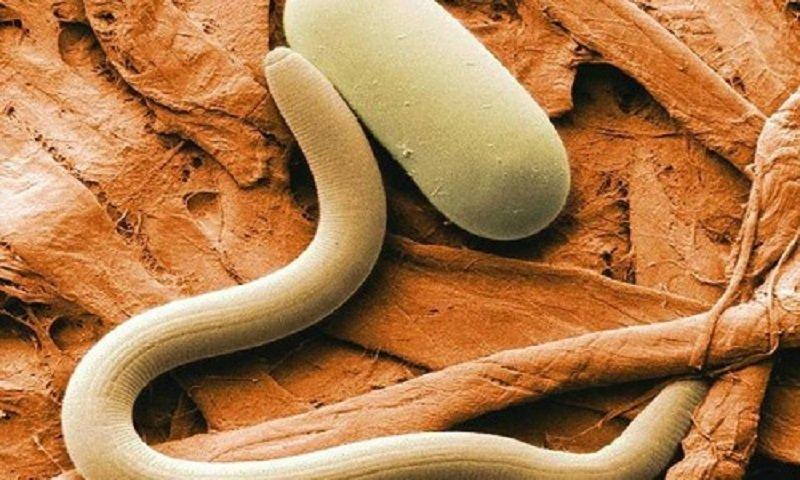 гвоздика средство от паразитов