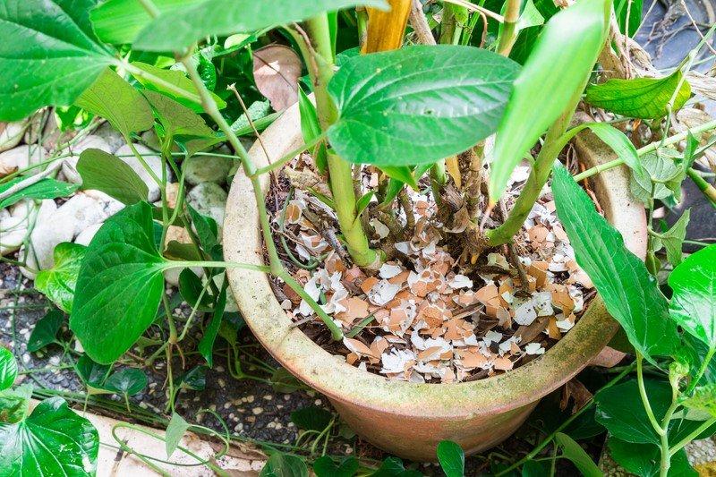 яичная скорлупа в саду и огороде