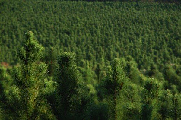 хвайный лес