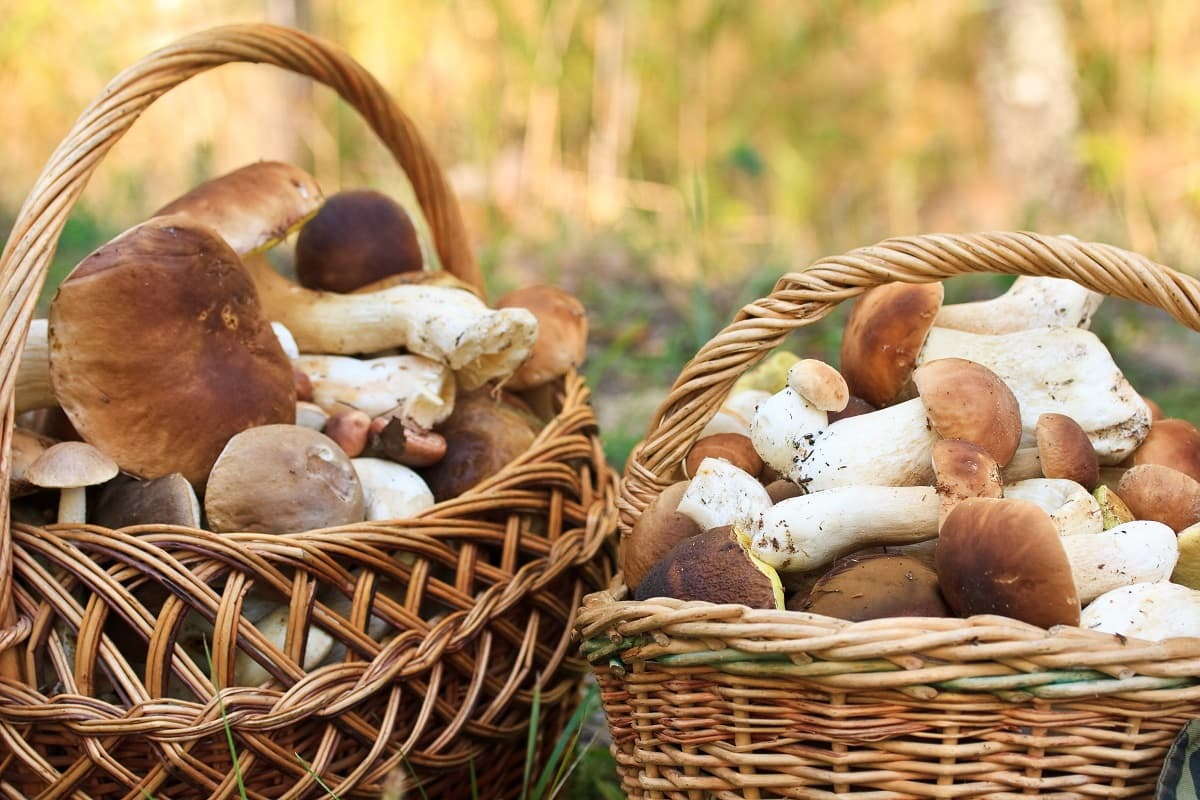 Сколько зарабатывает на продаже лесных грибов бывалый грибник грибы, грибов, хобби, можно, может, нужно, собирать, стоит, Также, рублей, знать, Однако, могут, грибник, продавцы, сразу, нюансы, места, понадобиться, грибные