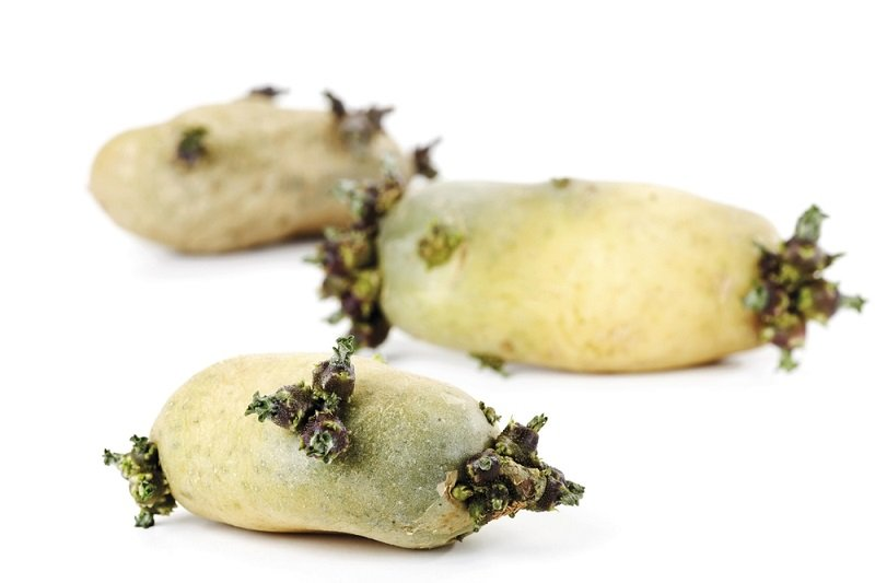 проросший картофель в пищу