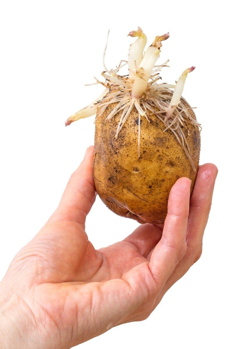 проросший картофель вред