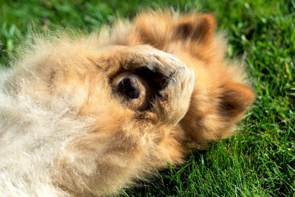 Среди пушистых пород собак ищем собачку с самой роскошной шубкой