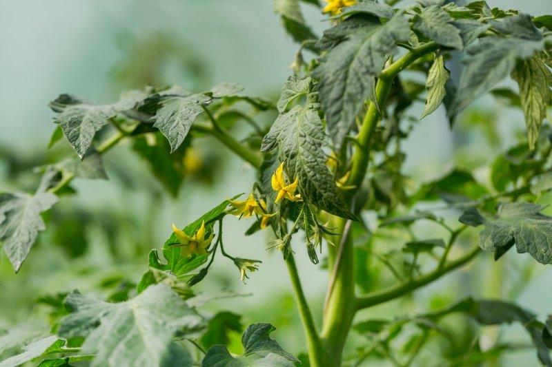 пустоцвет на помидорах