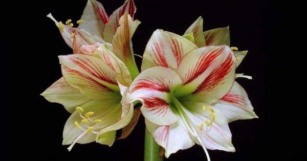 Как распускаются цветы в замедленной съемке. Прекрасное творение Создателя.