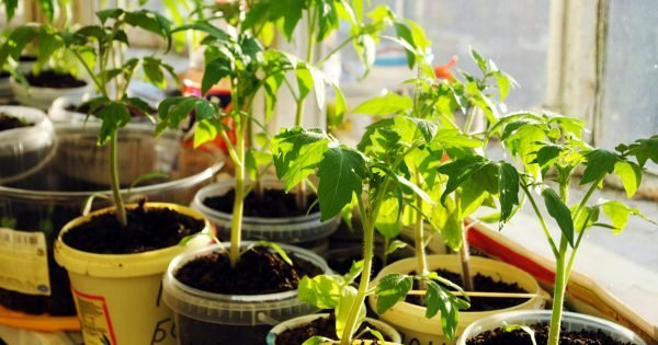 Tomato seedlings on the windowsill at sunny day