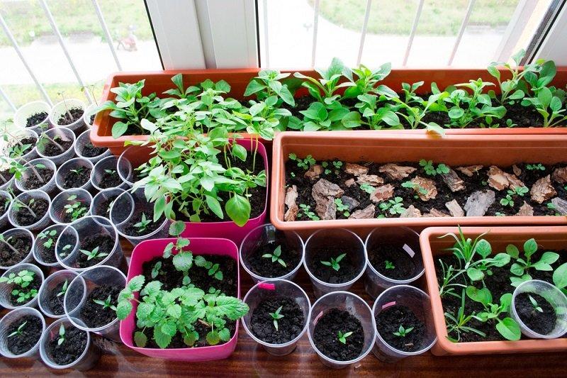 Советы бывалого дачника по выращиванию рассады