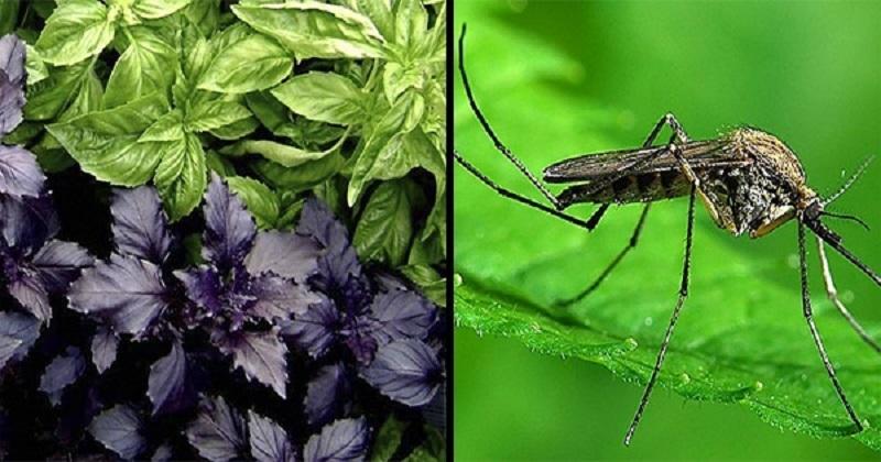 Новости - Эти 6 чудо-трав отпугивают насекомых. То, что нужно для посадки на даче! растения и насекомые