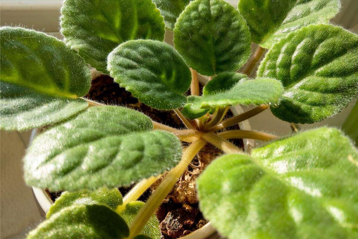 размножение фиалки листом в земле