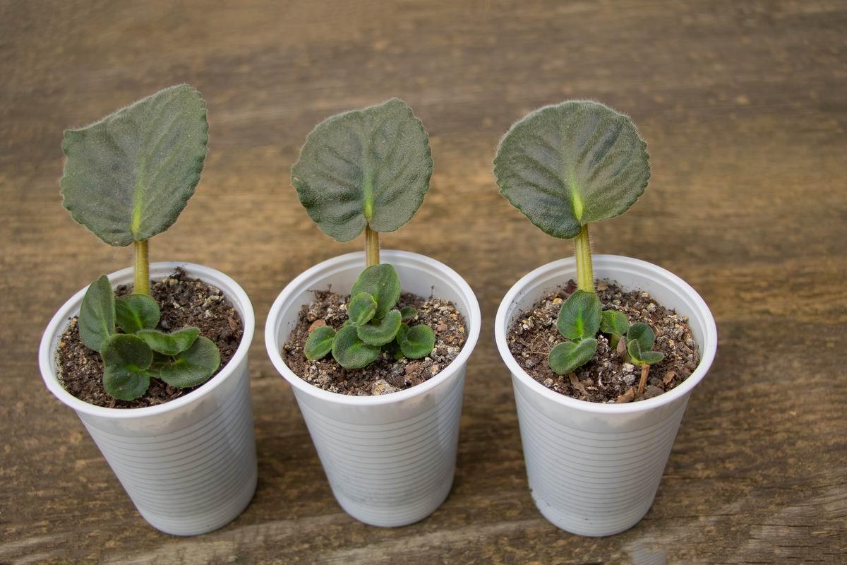фиалка размножение листом