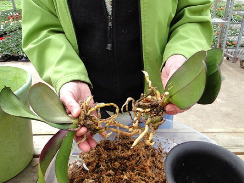 Деление орхидей в домашних условиях