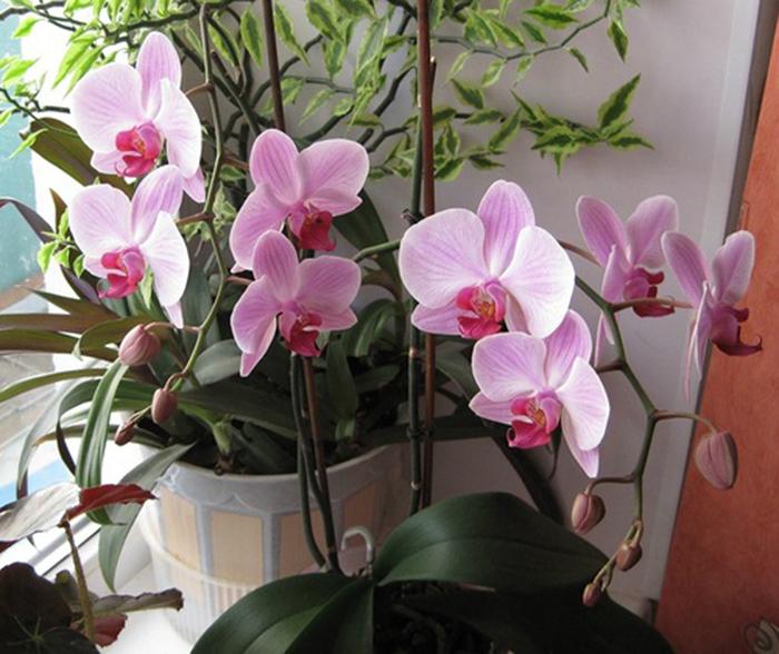 реанимация орхидей янтарной кислотой