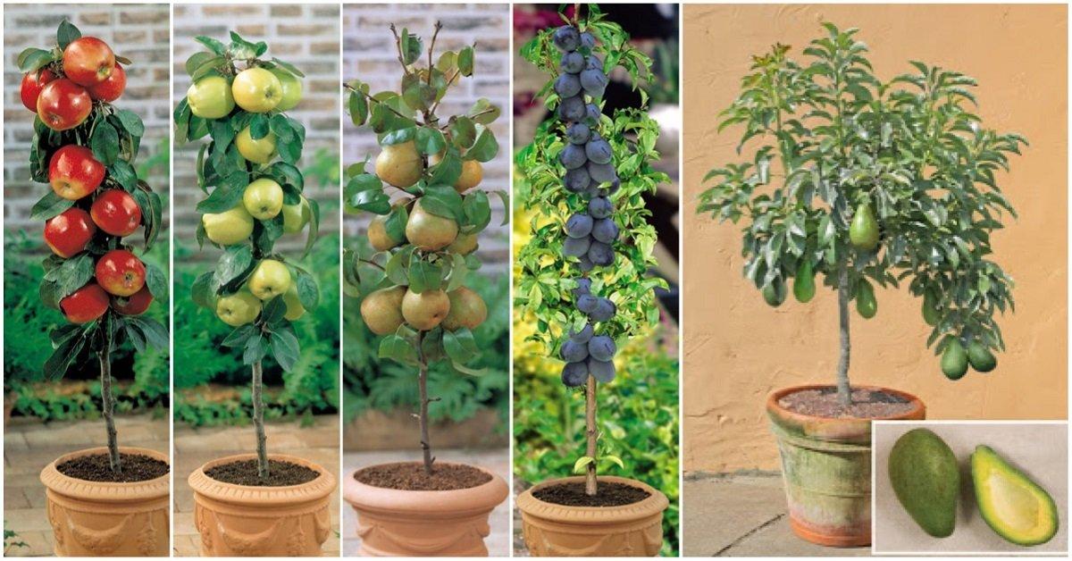 какой экзотический фрукт можно вырастить в квартире документов