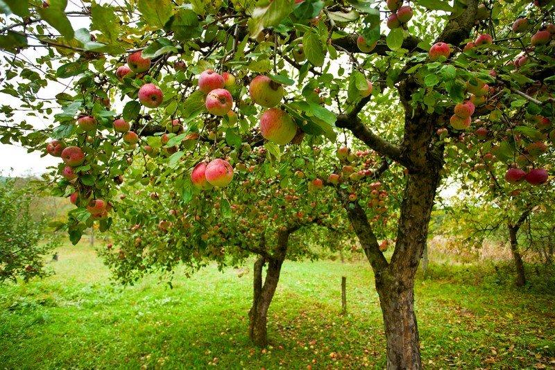 польза яблони