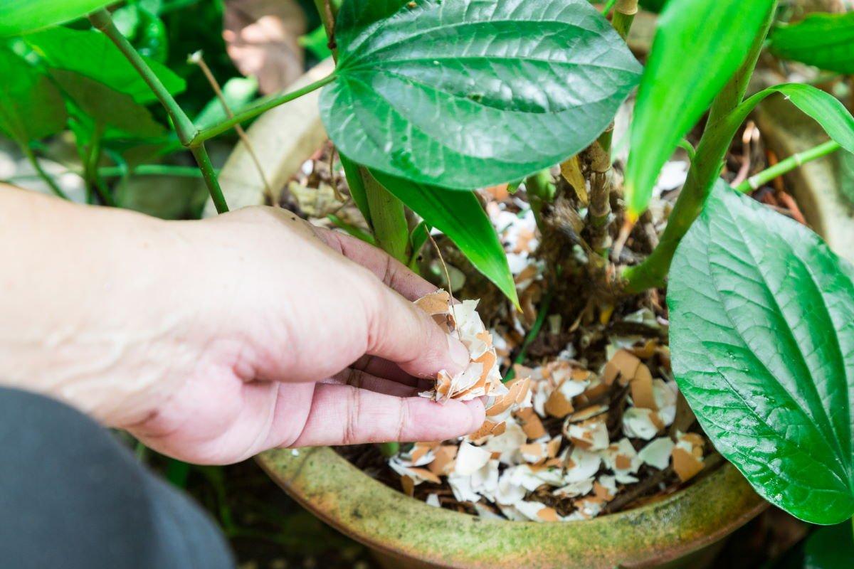Что будет, если усиленно удобрять денежное дерево яичной скорлупой