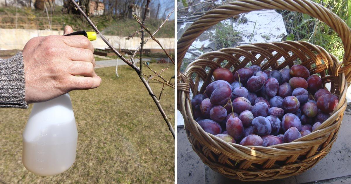 Слива в саду: как вырастить и сберечь от вредителей урожай