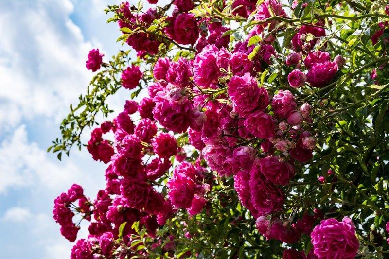 плетистые розы уход