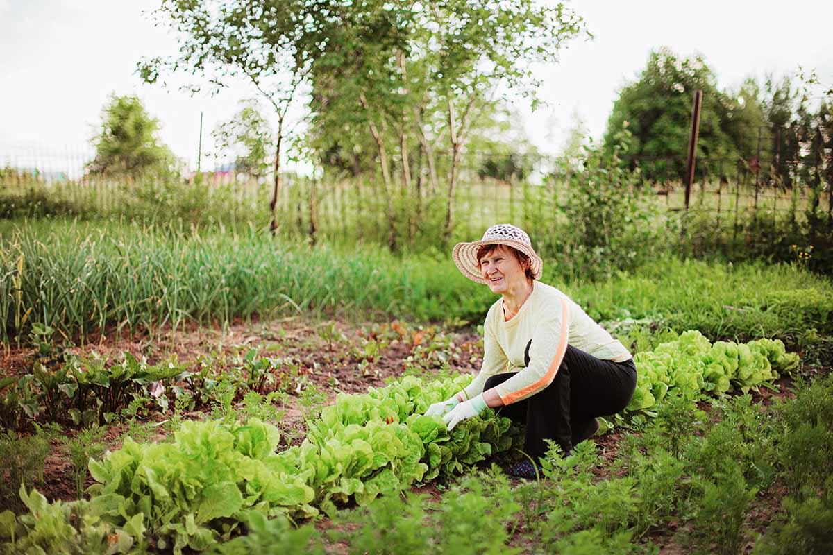 Помидоры дружат с морковью, а с картофелем враждуют, потому не сажаю их вместе Советы,Весна,Грядки,Культура,Овощи,Огород,Растения,Сад,Сосед,Урожай