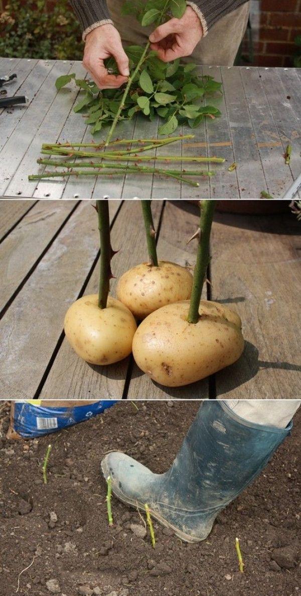 картофель для выращивания роз