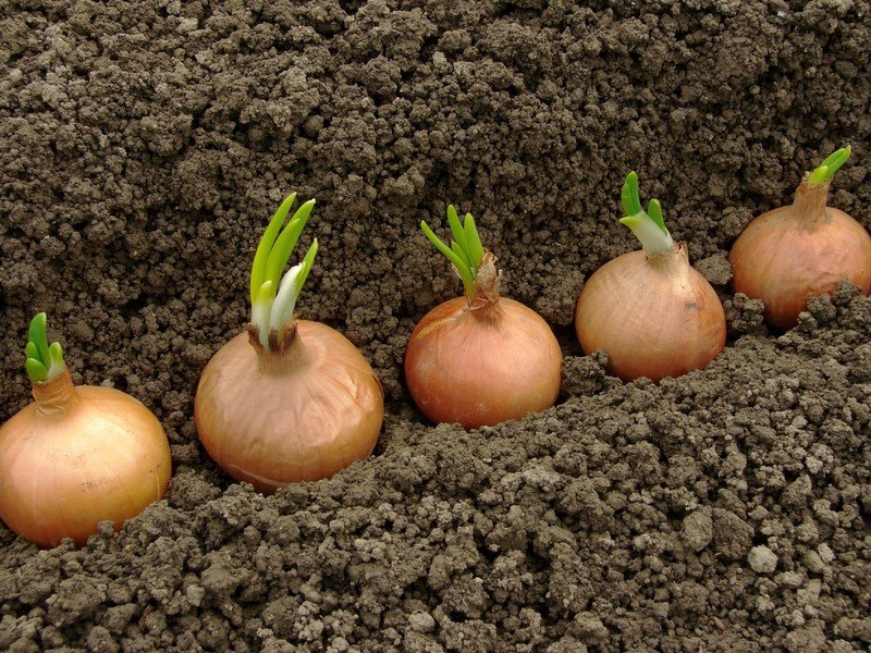 Новости PRO Ремонт - Эти овощи жить друг без друга не могут, только рядом! Такое соседство принесет… сажать горох