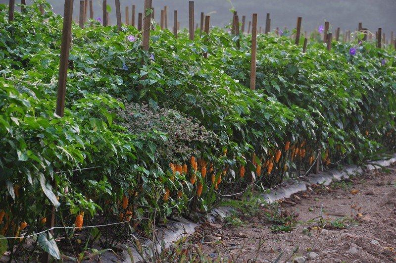 Новости PRO Ремонт - Эти овощи жить друг без друга не могут, только рядом! Такое соседство принесет… какие овощи сажать