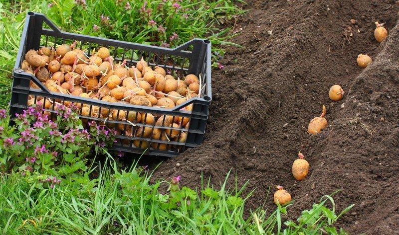 Новости PRO Ремонт - Эти овощи жить друг без друга не могут, только рядом! Такое соседство принесет… сажать овощи