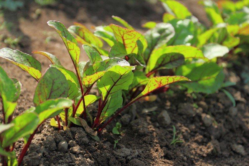 Новости PRO Ремонт - Эти овощи жить друг без друга не могут, только рядом! Такое соседство принесет… сажать картошку