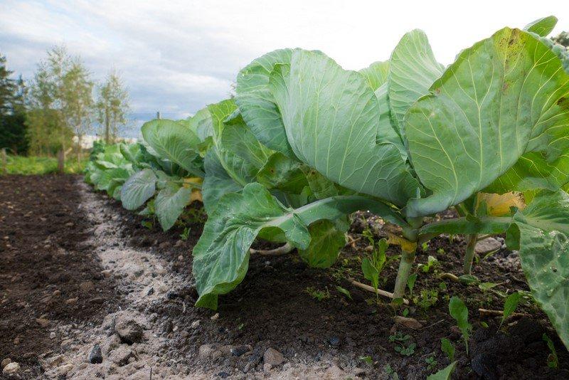 Новости PRO Ремонт - Эти овощи жить друг без друга не могут, только рядом! Такое соседство принесет… сажать огурцы