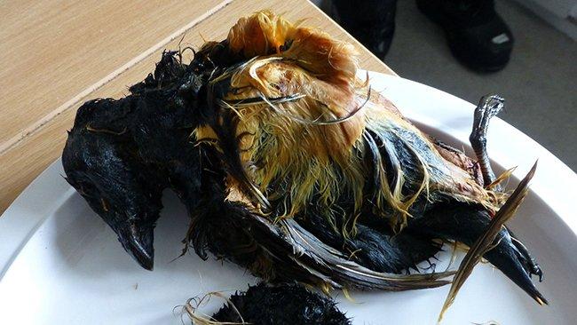 тюлень, фаршированный чайками