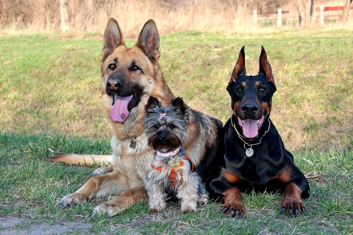 Подборка лучших сторожевых собак для охраны дома