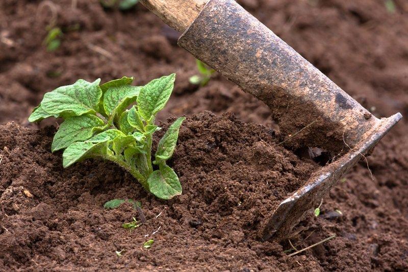 выращивание ботвы свеклы