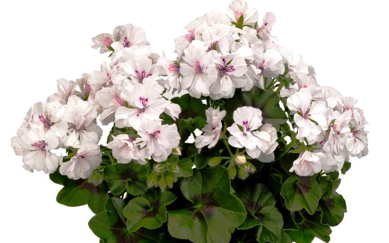 герань цветок