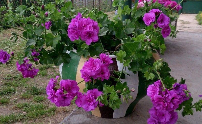 герань цветок фото